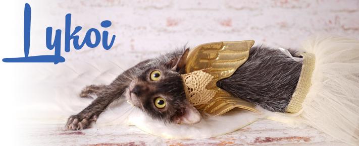 Le Lykoi | Le chat-garou!